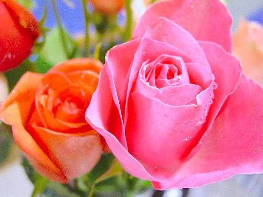 Roses Photograph - Roses by Jodi Bauter