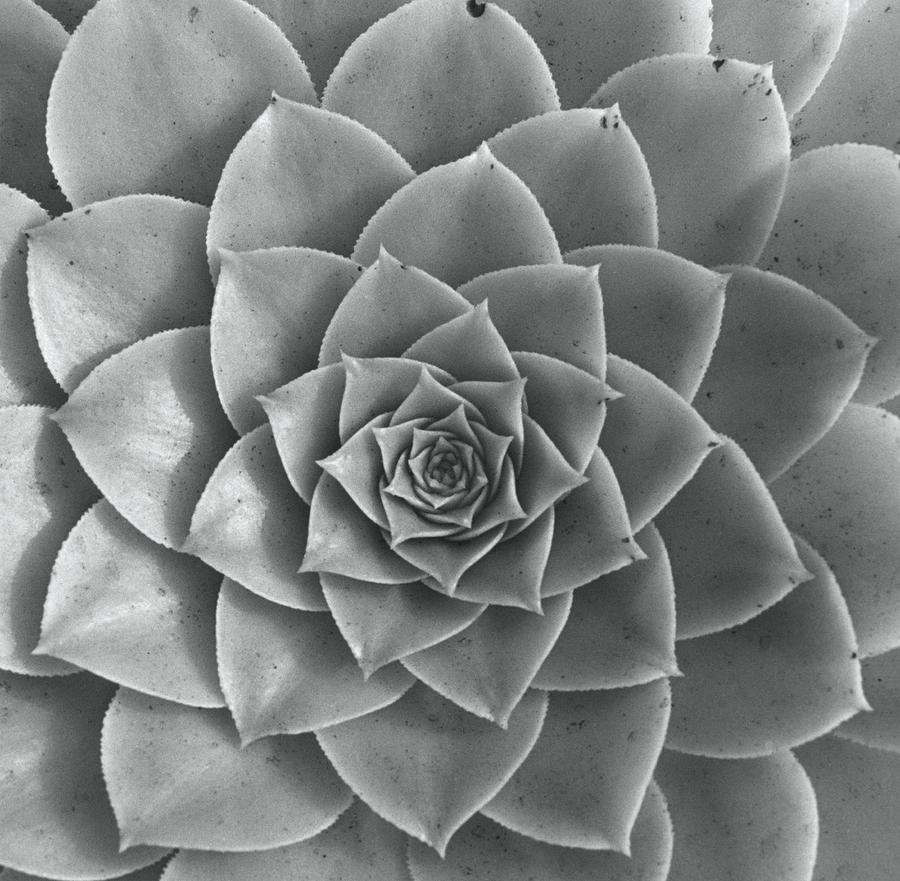 Rosette Of Succulent - Aeonium Holochrysum Photograph by Horst P Horst