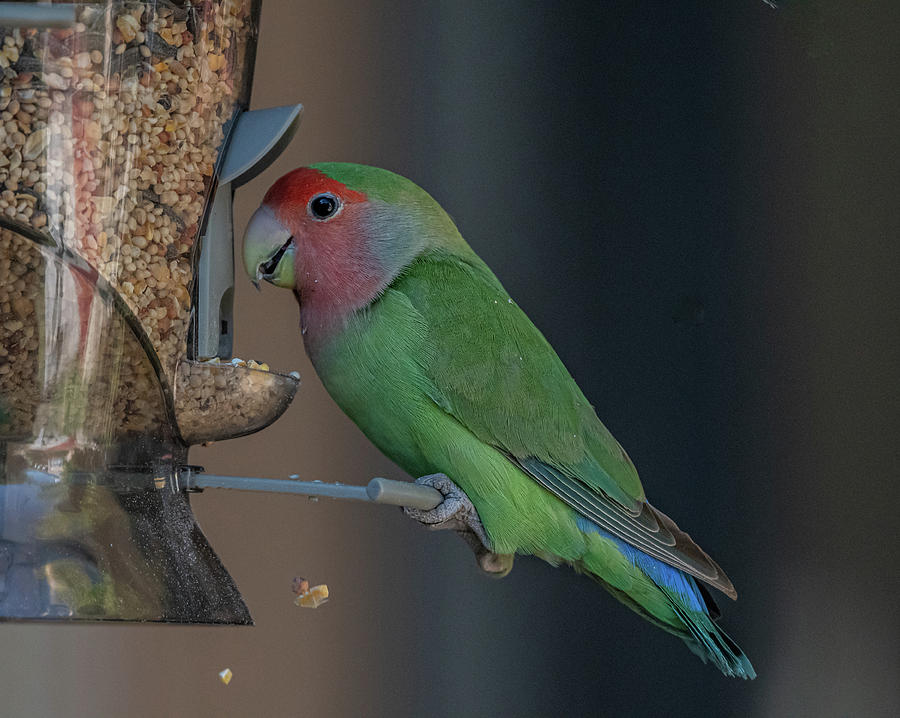 Rosey-faced Lovebird by Hershey Art Images