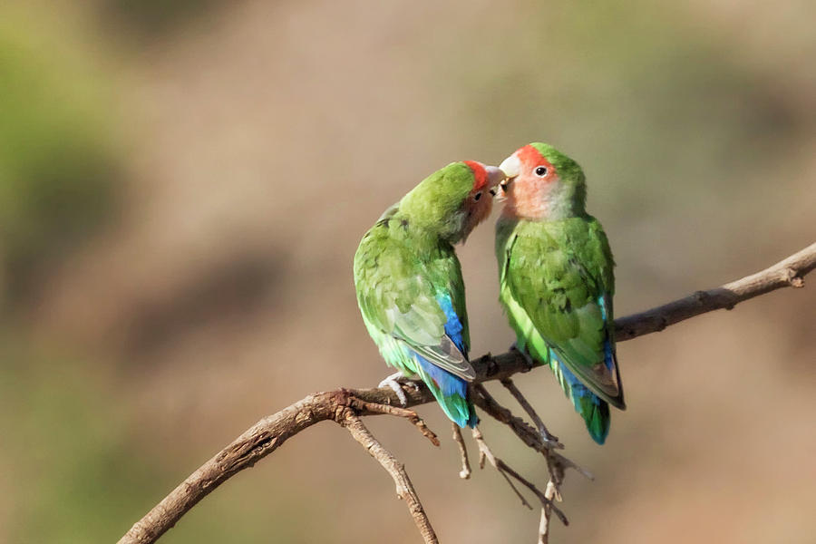 Rosy Faced Lovebird Kisses by Belinda Greb