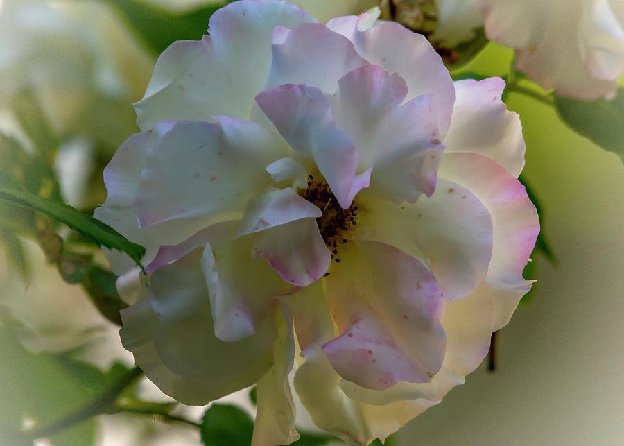 Rosy Ruffles Photograph