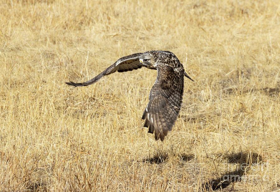 Rough Legged Hawk Wingspan Photograph