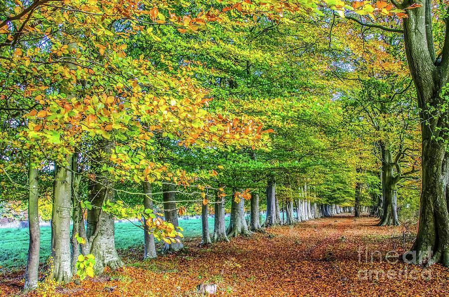 Row Photograph - Row of English beech trees in autumn  by Richard Jemmett