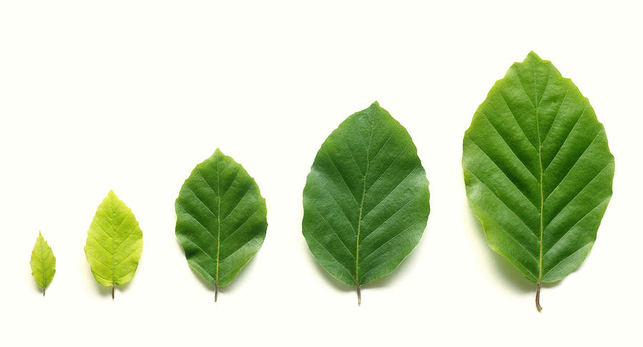Row of five beech leaves in increasing size. Photograph by Rosemary Calvert