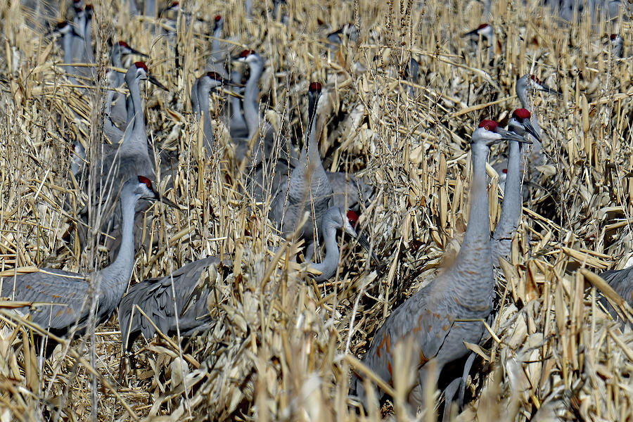 Rows Of Corn And Cranes Photograph
