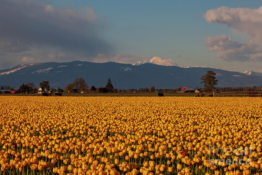 Rows Of Yellow Photograph