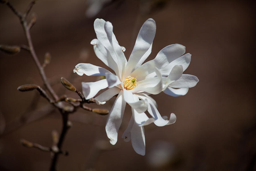 Royal Star Magnolia Flower by Trevor Slauenwhite