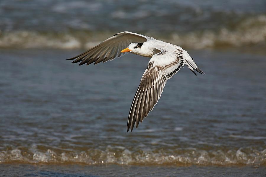 Royal Tern In Flight Photograph
