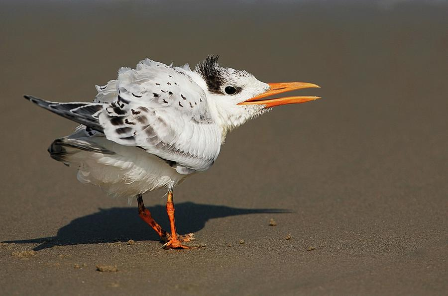 Royal Tern Squawking Photograph