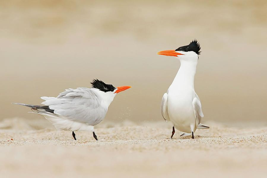 Royal Terns Courting Display Photograph