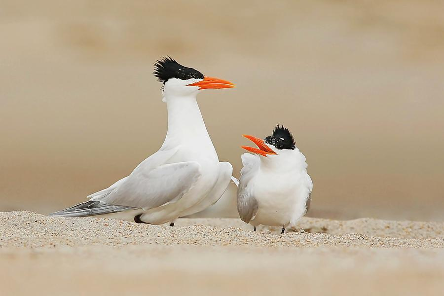 Royal Terns Courting Photograph