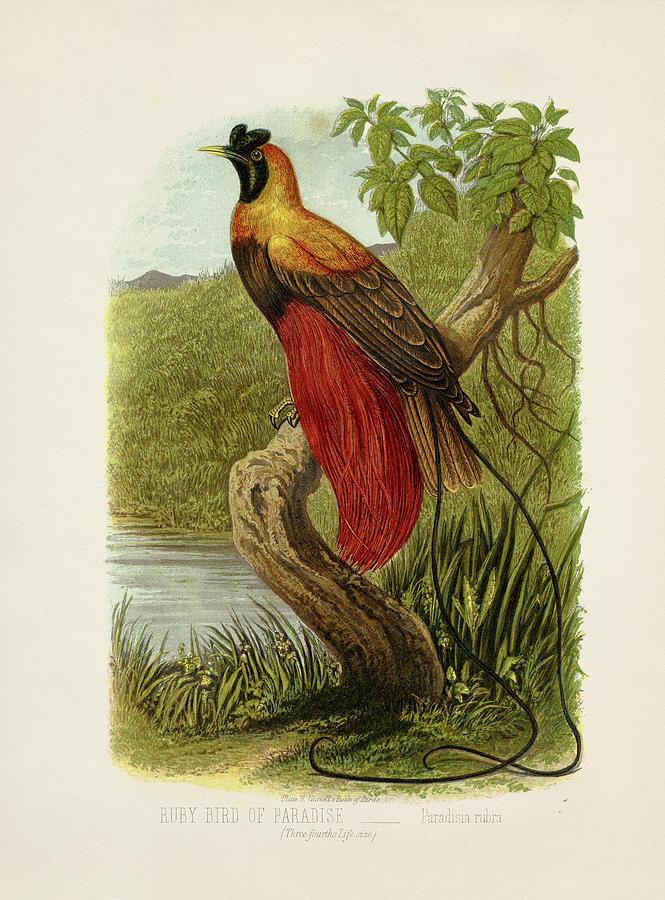 Lithograph Painting - Ruby Bird of Paradise - Paradisia rubra by Hakon Soreide