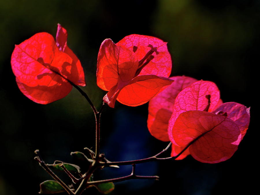 Ruby-colored Bougainvillea by Lyuba Filatova