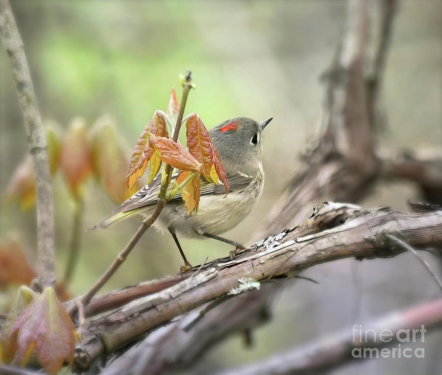 Ruby-crowned Kinglet - Forest Visitor Photograph