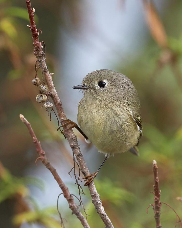 Birds Photograph - Ruby-crowned Kinglet, Sacramento County California by Doug Herr