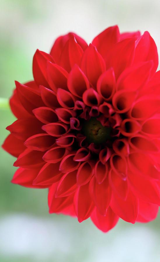 Ruby Red Dahlia In My Garden Photograph