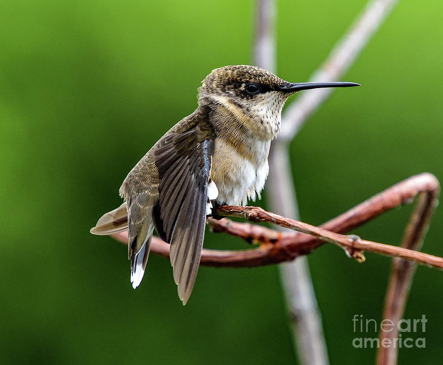Ruby-throated Hummingbird After The Stretch Photograph