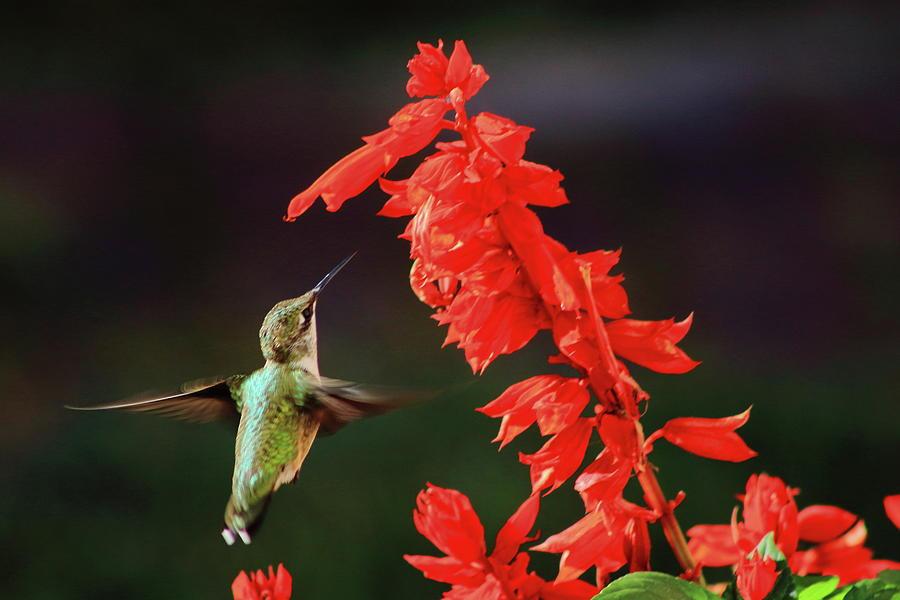 Ruby Throated Hummingbird And Salvia Flower Photograph