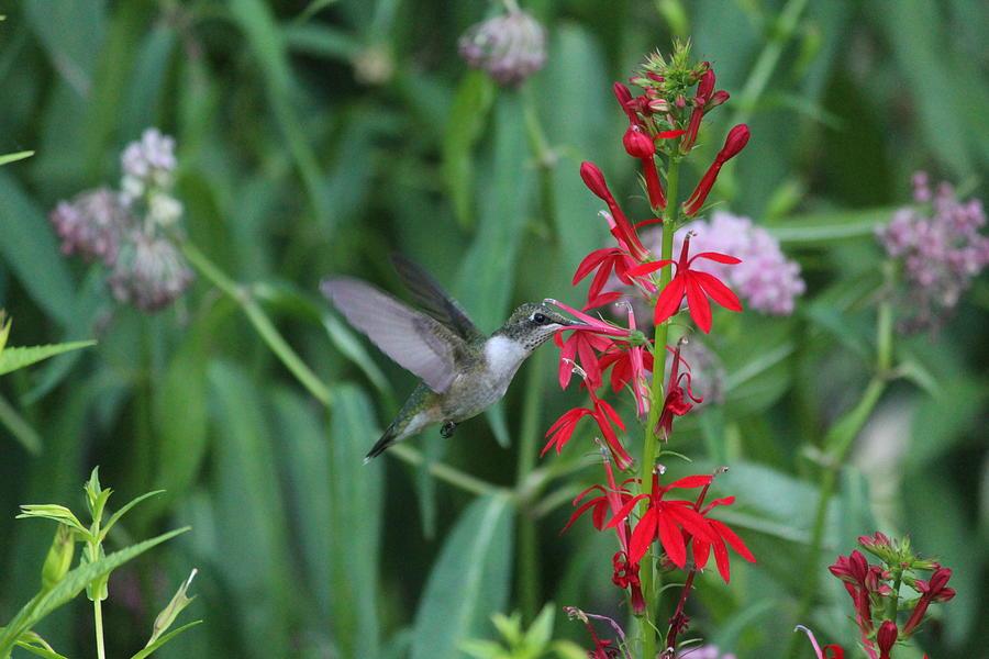 Ruby-throated Hummingbird Photograph - Ruby-throated Hummingbird by Callen Harty