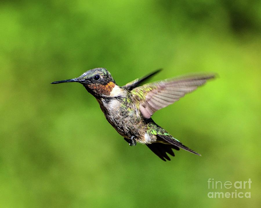 Ruby-throated Hummingbird Flyng Wonder Photograph