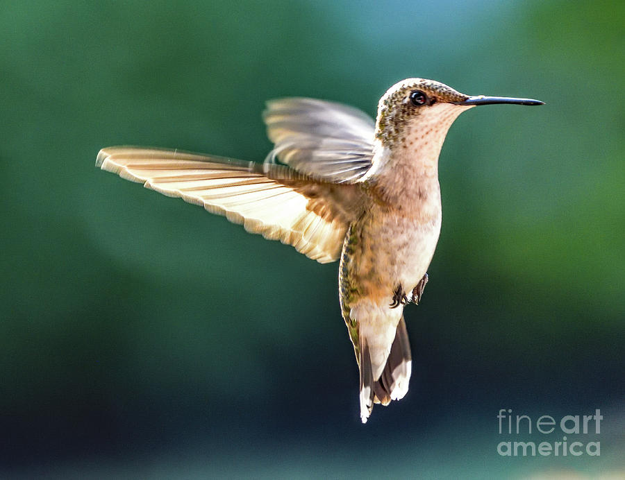 Ruby-throated Hummingbird In The Blue Light Photograph