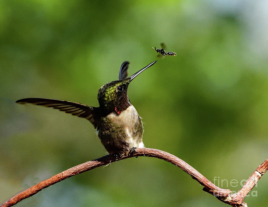 Ruby-throated Hummingbird Is Not Intimidated By A Bug Photograph