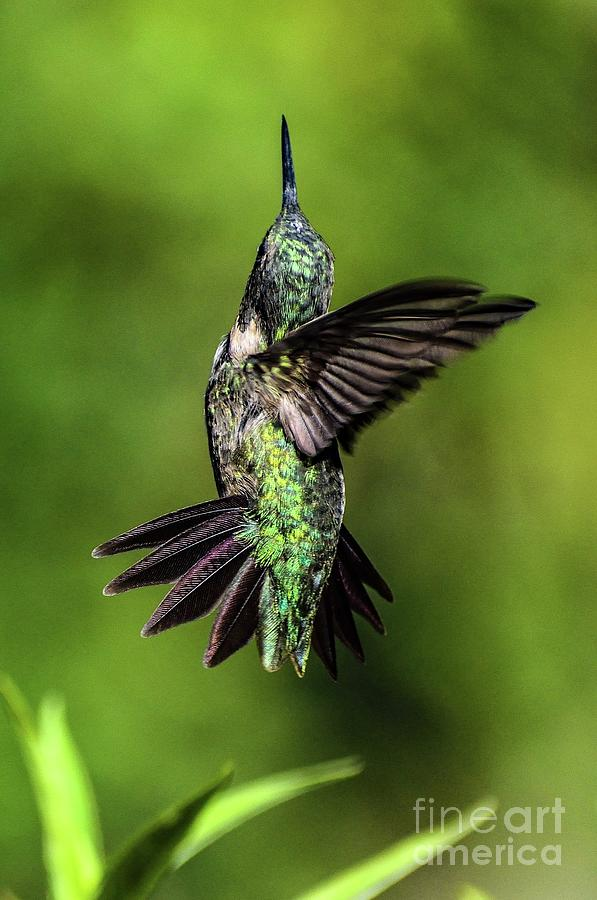 Ruby-throated Hummingbird Up Up And Away Photograph