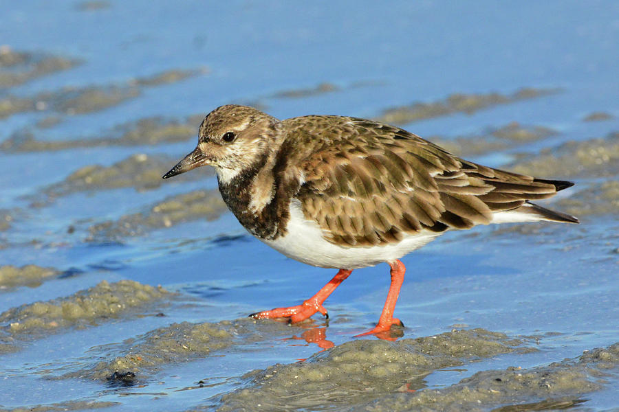 Ruddy Turnstone by Jerry Griffin