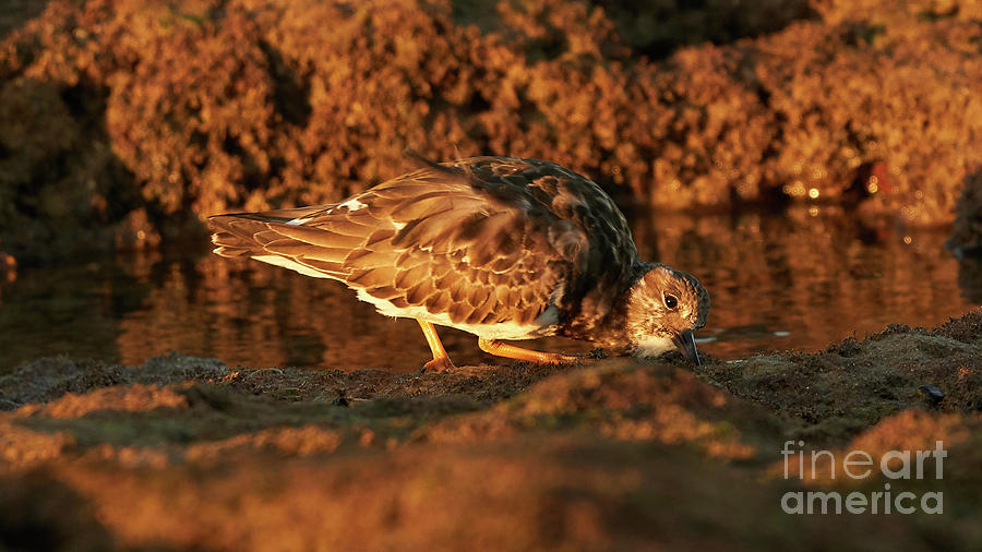Ruddy Turnstone Standing on a Rock with Rocky Background Caleta by Pablo Avanzini