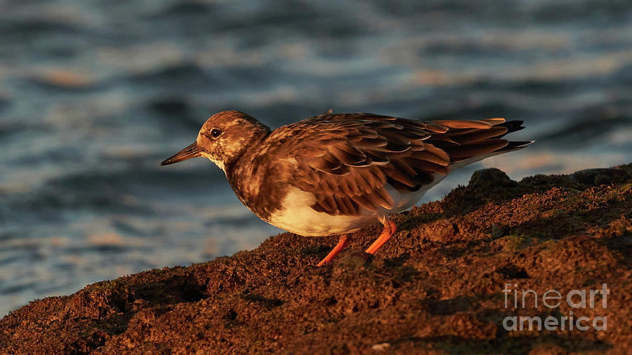 Ruddy Turnstone Standing on a Rock with the Sea in the Background by Pablo Avanzini