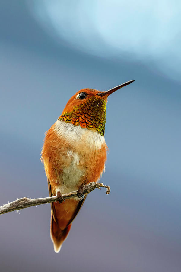 Rufous Hummingbird 2 by Wes and Dotty Weber