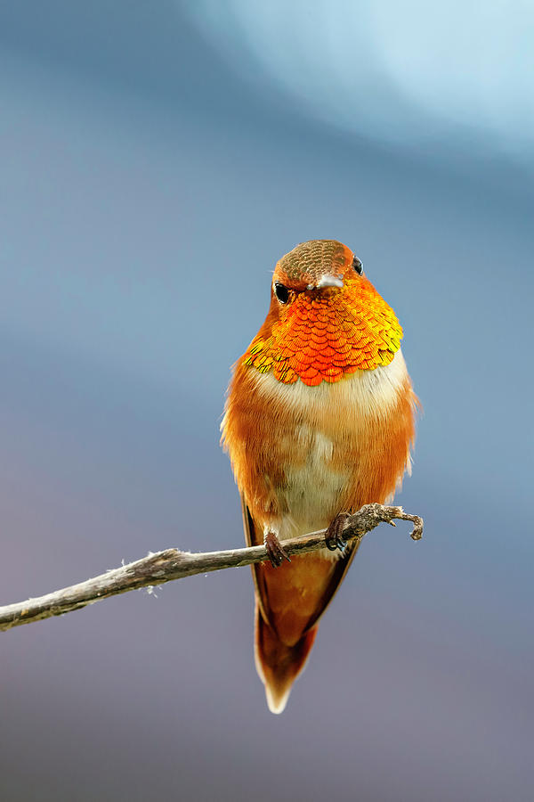 Rufous Hummingbird by Wes and Dotty Weber