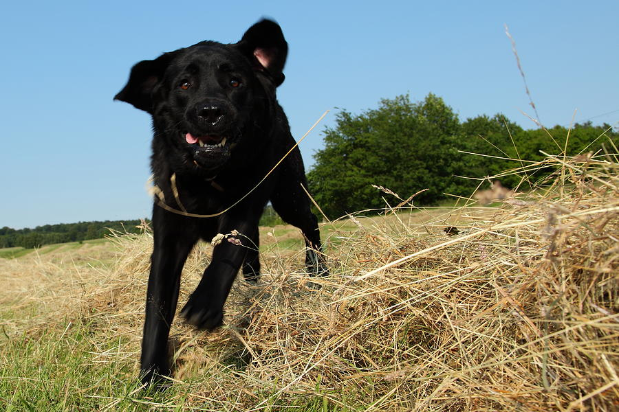 Running and jumping hunting black Labrador Retreiver dog in hay Photograph by Pejft