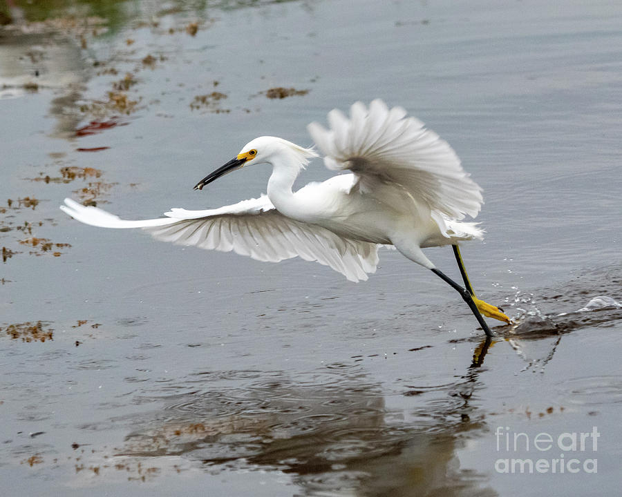 Egret Photograph - Running Egret by Eric Killian