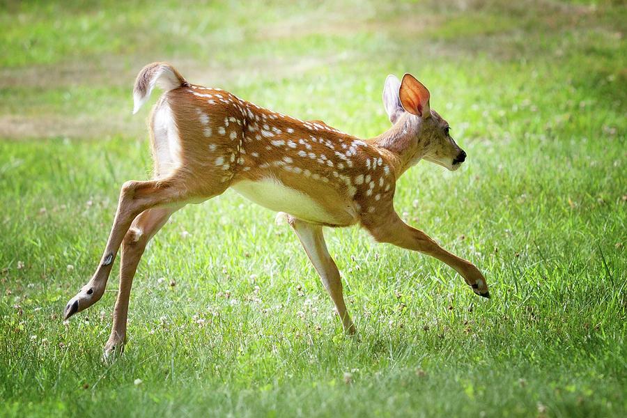 Running Fawn Photograph