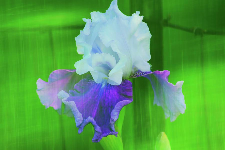 Rustic Ringo Iris Photograph