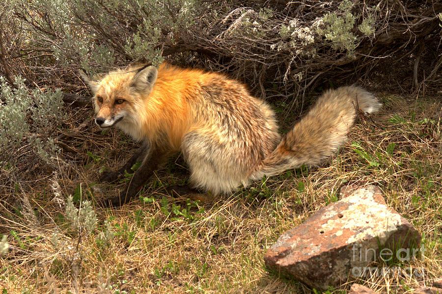Sage Brush Red Fox by Adam Jewell