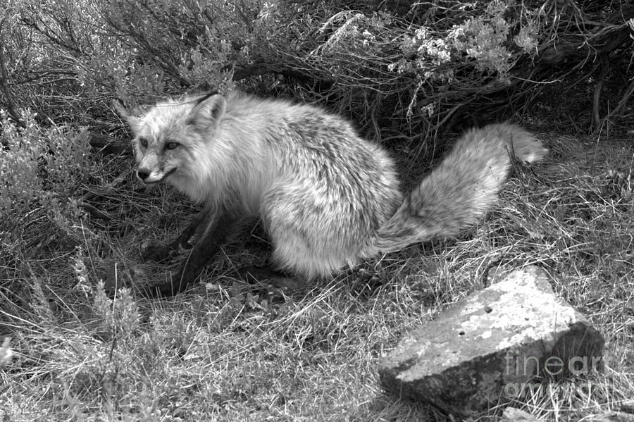 Sage Brush Red Fox Black And White by Adam Jewell