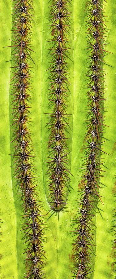 Saguaro Lines - #2 Photograph