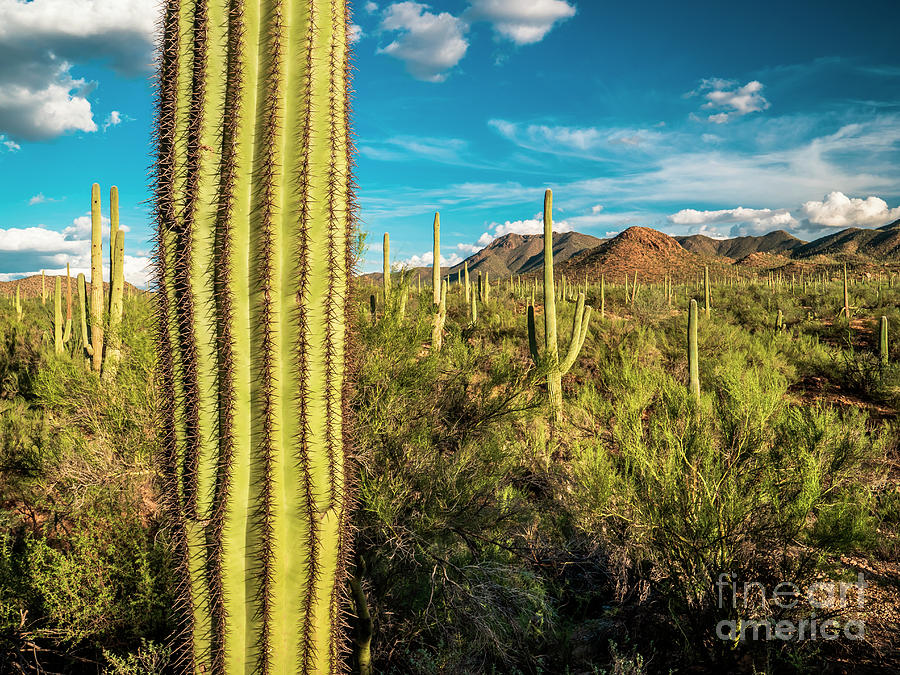 Saguaro National Park and Sonoran Desert Landscape, Arizona by Bryan Mullennix
