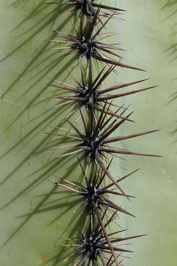 Saguaro Needles by Paul Freidlund