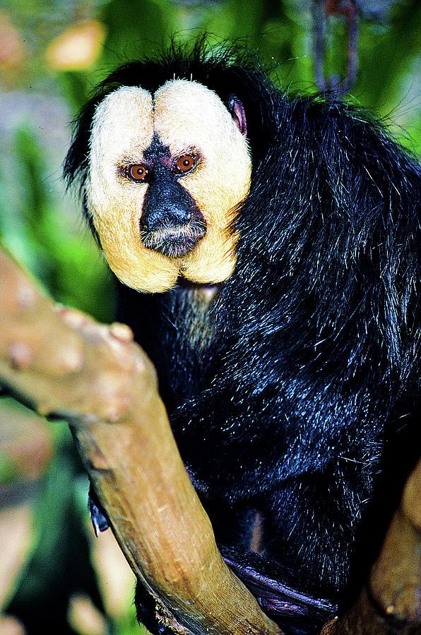 Saki Monkey Photograph