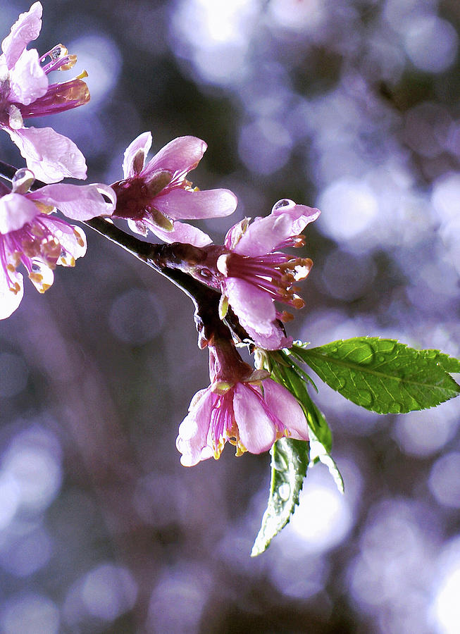 Sakura Rain Photograph