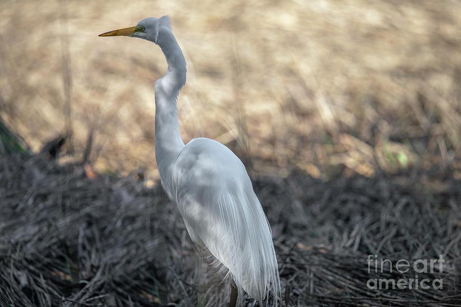 Salt Marsh Hunter - Lowcountry Gold Photograph