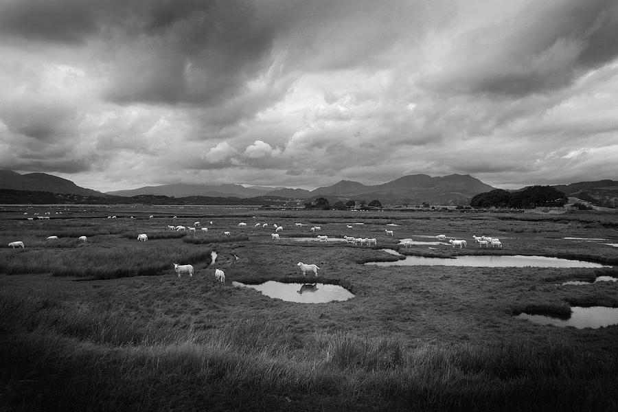 Salt Marsh Sheep - Snowdonia Photograph