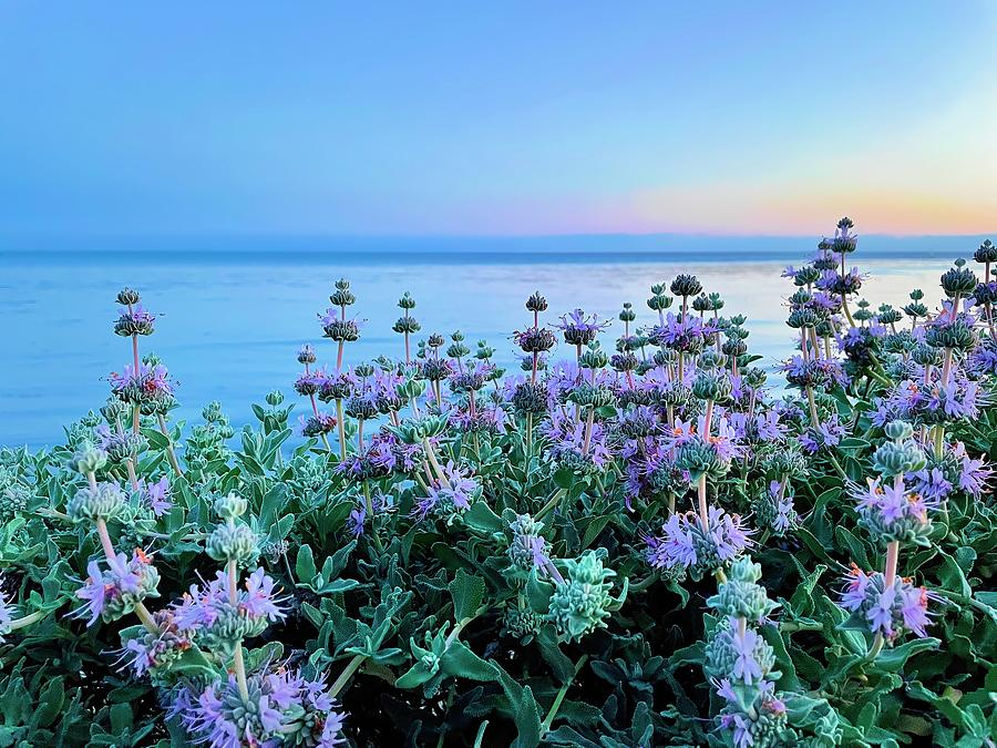 Salvia Sunset Photograph