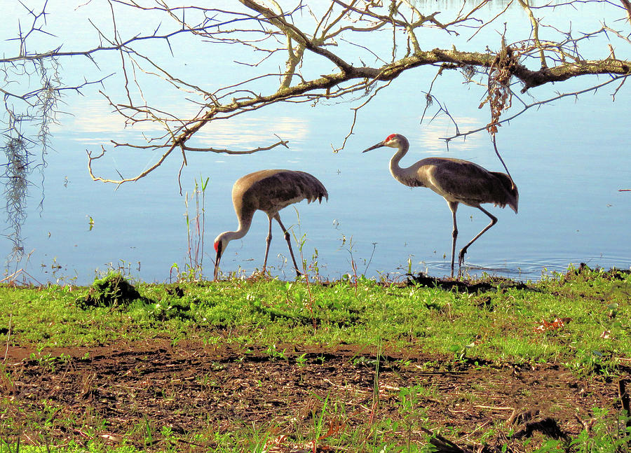 Sand Hill Crane Pair by Rosalie Scanlon