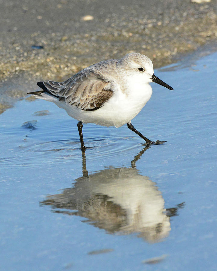Sanderling Reflection by Jerry Griffin