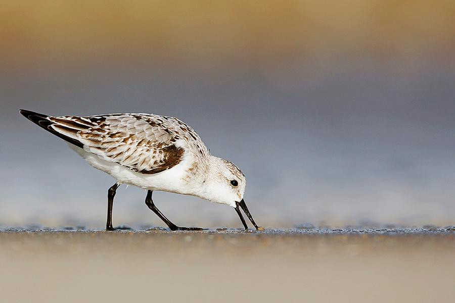 Sanderling Searching Photograph