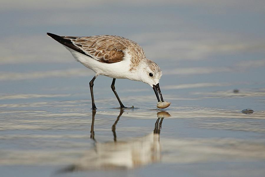 Sanderling With Mole Crab Photograph